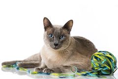 Tonkinese cat Stock Image