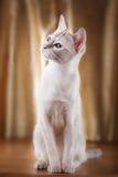 Tonkinese cat Royalty Free Stock Photo