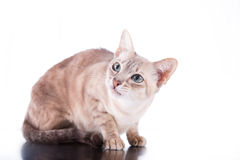 Tonkinese cat Stock Photo