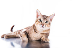 Tonkinese cat Royalty Free Stock Images