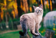 Tonkinese cat on a wooden swing. Tonkinese cat standing on the top of the wooden swing in a garden Stock Images