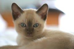 Tonkinese Kätzchen Stockfoto