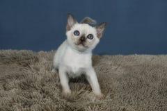 Tonkinese kattunge på lek royaltyfri fotografi