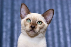 Tonkinese kitten. Expressive face and eyes of a chocolate point Tonkinese kitten Royalty Free Stock Photography