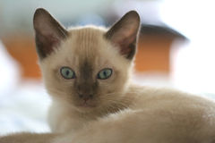 Tonkinese Kitten Stock Photo