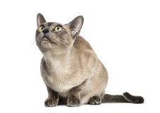 Tonkinese sitting, looking up Stock Images