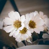 Tonkonzept der weißen Blume und der Weinlese lizenzfreies stockbild