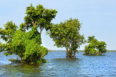 Tonle Sap Lake. Trees on water at the Tonle Sap Biosphere Reserve in Cambodia Stock Image