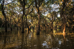 Tonle Sap Mangrove Forest Royalty Free Stock Image
