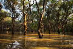 Tonle Sap Mangrove Forest Royalty Free Stock Images