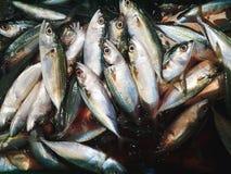Tonno, pesce Fotografie Stock Libere da Diritti