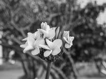 Tono del Plumeria B&W Fotografía de archivo libre de regalías