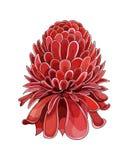 Tono medio de la historieta con la flor de Etlingera Elatior La mano del vector ahoga bosquejo coloreado ilustración del vector