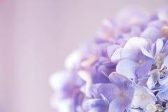 Tono morbido del fiore dell'ortensia e tono d'annata dolce Fotografia Stock Libera da Diritti