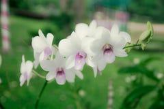 Tono morbido di bella orchidea con fondo verde e di sfuocatura molle nel grande giardino Fotografia Stock