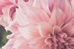 Tono morbido di rosa del fiore di potere Fotografie Stock Libere da Diritti