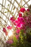 Tono rosado de la luz del borde de la orquídea con el punto de la luz del sol Imagen de archivo libre de regalías