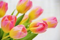 Tonos delicados de tulipanes rosados Fotos de archivo libres de regalías