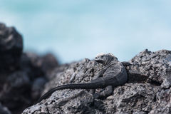 Tonåring Marine Iguana Arkivfoto