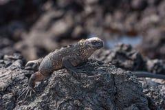 Tonåring Marine Iguana Arkivbilder