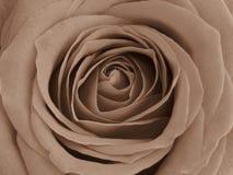 Tons da cor do Sepia de uma rosa vermelha Sugestão delicada do encanto do vintage fotos de stock royalty free