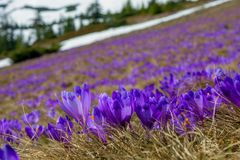Tons Of Giant Crocus In A Field Of Carpathian Mountains, Ukraine Stock Photos