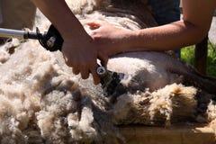 Tonte des moutons Images libres de droits