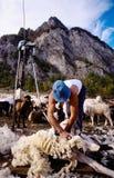 Tonte des moutons Photo stock