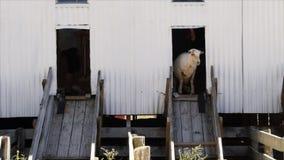 Tonte des moutons shed-2 banque de vidéos