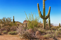 tonto för kaktusskognational Arkivbild