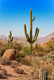 Tonto National Forest cactus Stock Photos