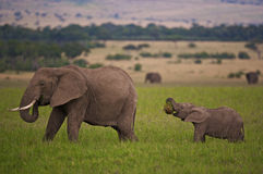 Too big for its mouth. Young elephant tries to eat something too big for its mouth Royalty Free Stock Photos