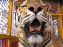 Too Close. Tiger looking for his next meal Royalty Free Stock Image