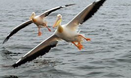 Too close. Two pelicans flying towards the camera Royalty Free Stock Images