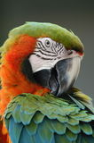 Too Cute. Preening Royalty Free Stock Photo