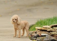 Too Cute. Toy poodle striking a pose Royalty Free Stock Photos