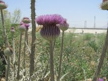Too far from Scotland. After having visited Scotland and repeat watching Braveheart, I was surprised to find these thistle in Iraq. So out of place. But then Stock Photo