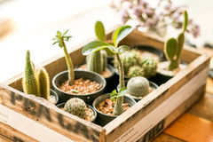 Too many desert plants in wood box Royalty Free Stock Photos