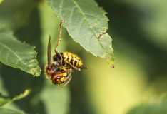 A beautiful hornet, Prague Royalty Free Stock Photography