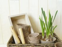 Tools for transplanting plants.Happy Easter.Narcisse, ficus and succulents in pots. Wooden background. Brown, green, pink and beige colors Royalty Free Stock Image