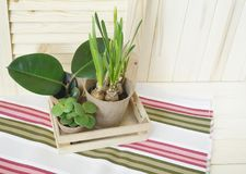 Tools for transplanting plants.Happy Easter.Narcisse, ficus and succulents in pots. Wooden background. Brown, green, pink and beige colors Royalty Free Stock Images