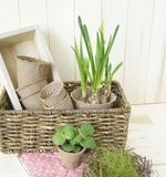 Tools for transplanting plants.Happy Easter.Narcisse, ficus and succulents in pots. Wooden background. Brown, green, pink and beige colors Stock Image
