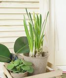 Tools for transplanting plants.Happy Easter.Narcisse, ficus and succulents in pots. Wooden background. Brown, green, pink and beige colors Stock Photography