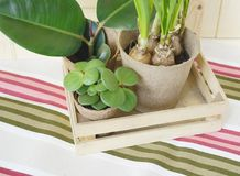 Tools for transplanting plants.Happy Easter.Narcisse, ficus and succulents in pots. Wooden background. Brown, green, pink and beige colors Stock Photo