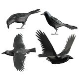 Toon crows. 3D render of toon crows Stock Images