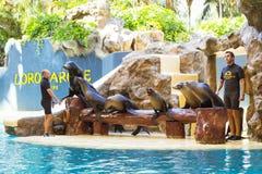 Toon met dolfijnen in de pool, Loro parque, Tenerife Royalty-vrije Stock Fotografie