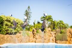 Toon met dolfijnen in de pool, Loro parque, Tenerife Stock Foto's