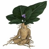 Toon root tuber Stock Photography