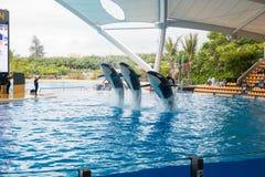 Toon van orka's in Loro Parque, die nu Tenerife ` s tweede - grootste aantrekkelijkheid met de grootste pool van Europa ` s in Te Stock Foto's