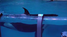 Toon van orka's op het Centrum voor Oceanografie en Marine Biology Moskvarium-de video van de voorraadlengte stock video